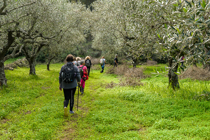 People walking through an olive grove. Green grass.