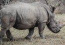 Rhino DNA Database Tightens Net Around Poachers