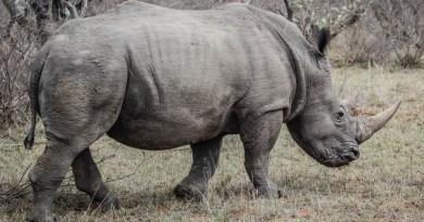 Rhino DNA Database Tightens Net Around Poachers