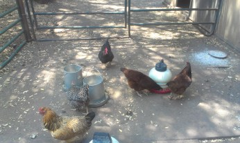Red Tail chickens