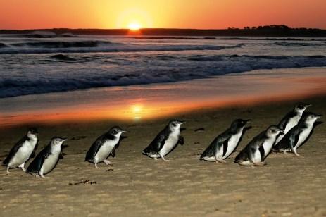 http://www.travel4kids.com.au/articles/phillip-island-penguin-parade-day-tours/