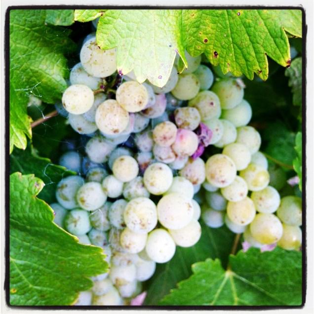 Grape harvest isn't far away