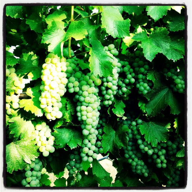Grapes growing nicely