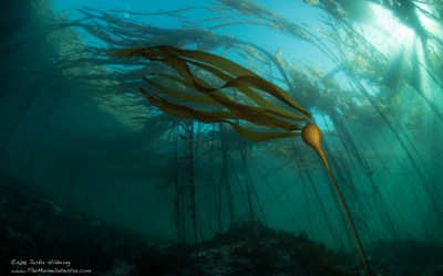 Warming waters, sea urchins are decimating kelp forests