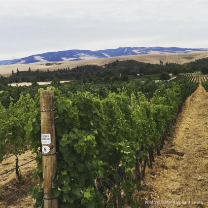 Yellow Bird Vineyard, Blue Mountain