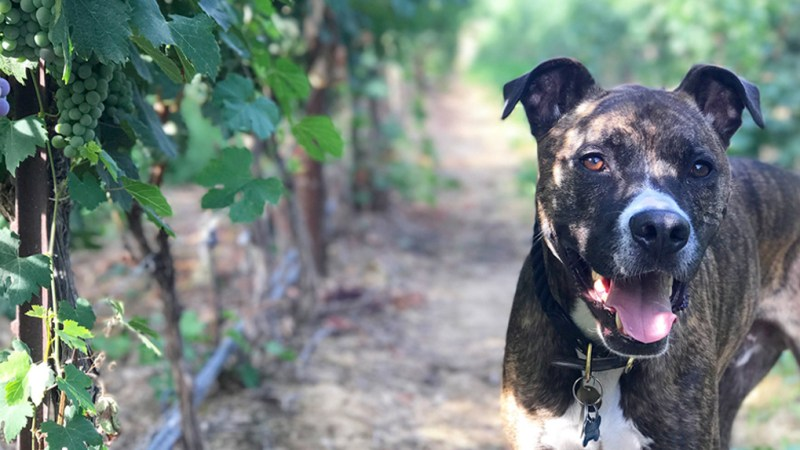 Turk the Upsidedown Wine rescue dog
