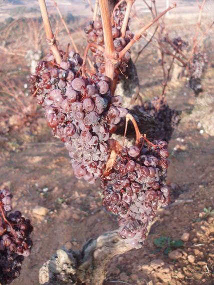 Viura in Rioja