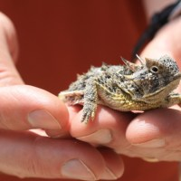 Lone Star Green: Goodbye to the Horny Toad?
