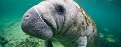 West Indian Manatee. Image Courtesy of IUCN.