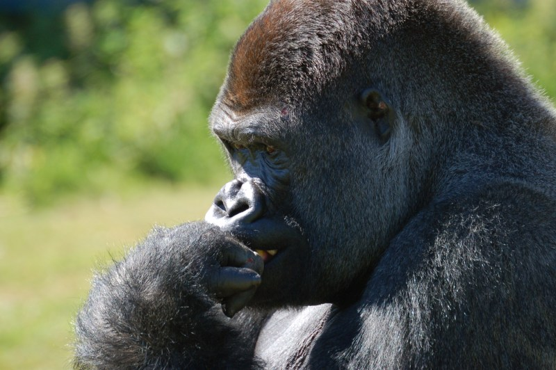 gorilla_port_lympne1