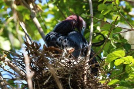 Little Blue Heron with Chick