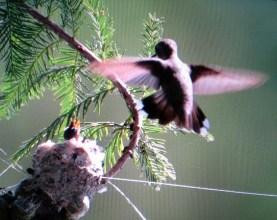Nesting Hummingbirds