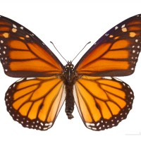 PODCAST: Liberty Heise on Monarchs, Marathons, Migration
