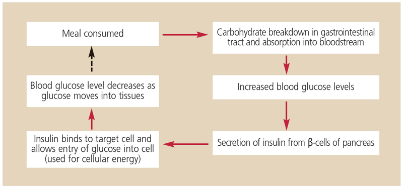 FIGURE 1. Carbohydrates are broken down into glucose molecules that are absorbed from the gut into the bloodstream. Increased blood glucose levels stimulate insulin secretion from the β-cells of the pancreas. This allows entry of glucose into target cells, where it is used for energy. Without insulin, glucose cannot enter most cells. As glucose moves into the tissues, blood glucose levels decrease, causing reduced insulin secretion until the next meal.
