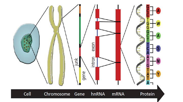 FIGURE 1. This illustration depicts the relationship between deoxyribonucleic acid (DNA), ribonucleic acid (RNA) and protein: from a somatic cell (one of trillions in the human body), to 46 pairs of chromosomes, to 6 billion nucleotides within diploid genomic DNA, to transcription of messenger RNAs, to translation of proteins. Understanding and leveraging these relationships in the pursuit of highly individualized therapies is the foundation of precision dentistry and medicine.
