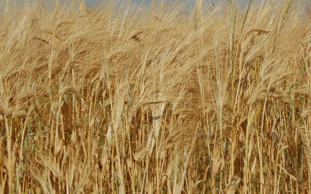 Decisive Farming Offers Farmers $4 Per Acre For Malt Barley Data