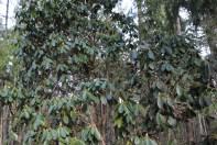 Rhododendren Tree