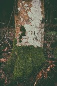 lichen-covered-alder-trees-seven