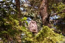 barred-owl-juvenile-june-eyes-open