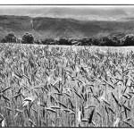 Les blés, noir et blanc, argentique, Devals