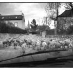 Les moutons, photo noir et blanc, Jean-Pierre Devals