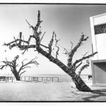 L'arbre-zèbre, vues photographiques, photo argentique