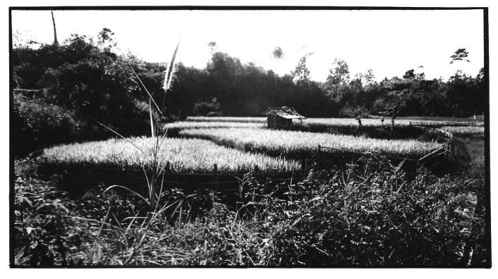 Le blond des rizières