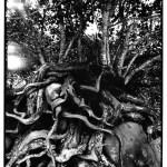 Racines nues, Indonésie, photographies argentiques, Devals