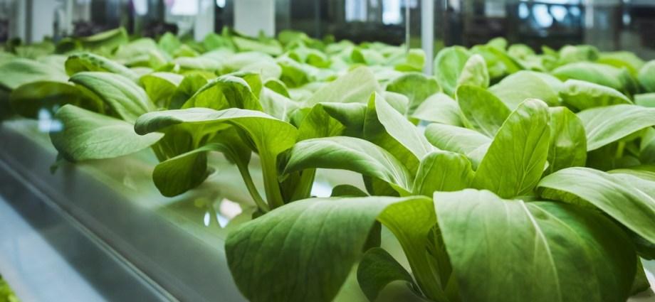 Rośliny w szklarni SGGW