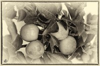 monochrome of the Day: Fruit Bowl of New Zealand 1 ...