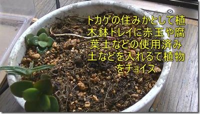 トカゲの住みかとして植木鉢トレイに赤玉や腐葉土などの使用済み土などを入れるて植物をチョイス
