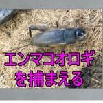 夏休みの自由研究エンマコオロギを飼ってみよう日本一大きいコオロギの産卵と孵化に挑戦
