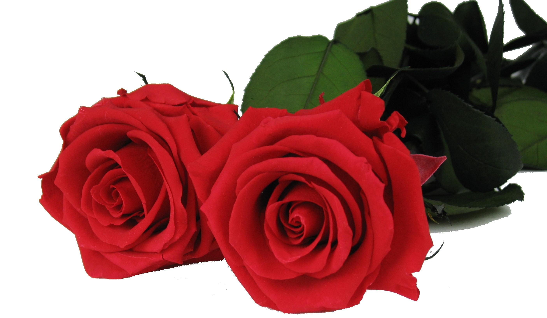 Decoflorales  Konservierte RosenStabilisierte RosenHaltbare RosenKonservierte Rose