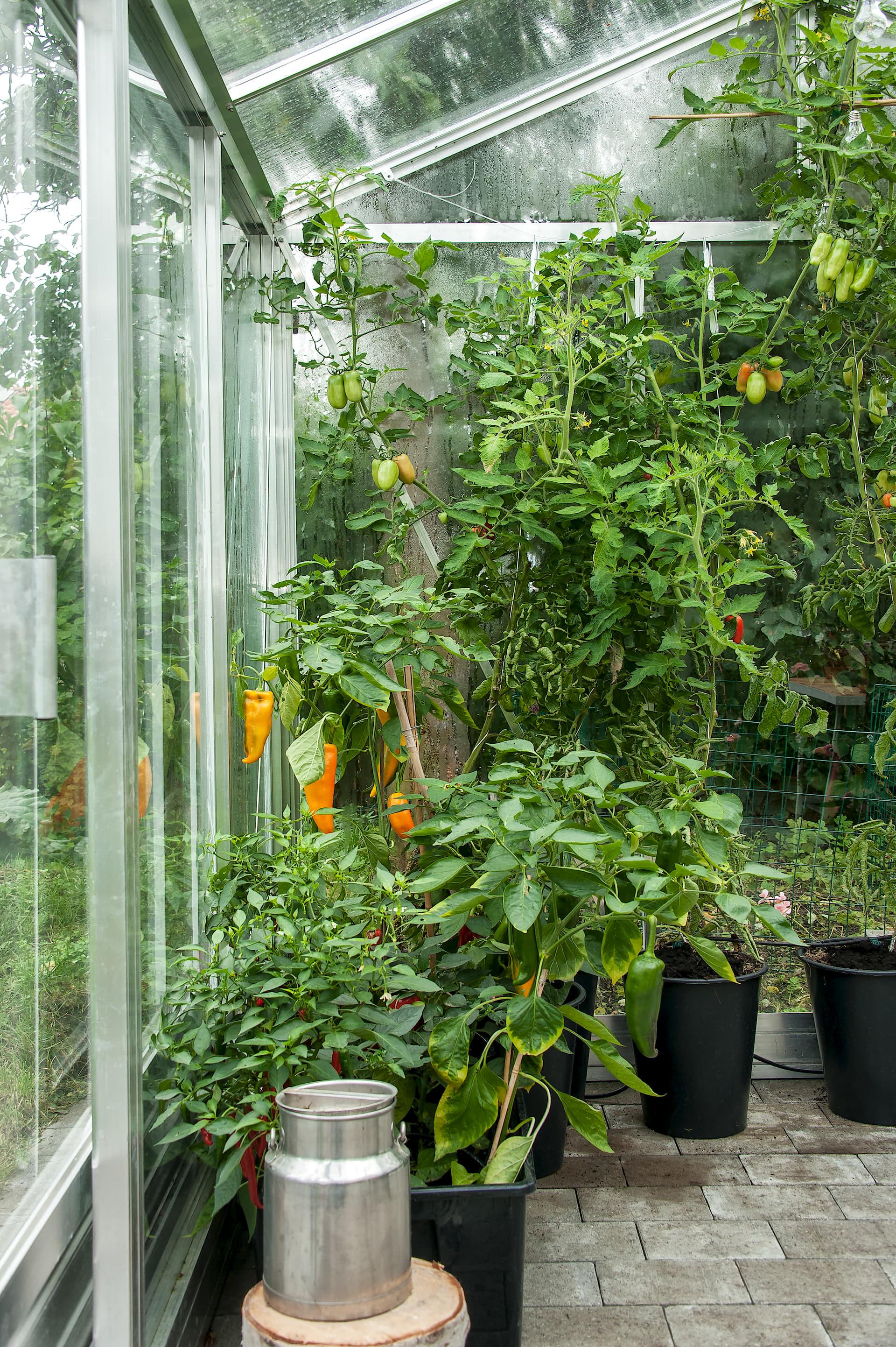 стеклянная теплица помидоры перец