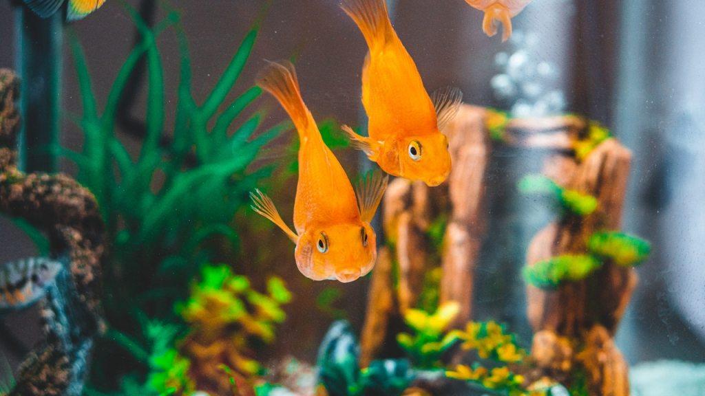 goldfish in 10 gallon aquascape tank