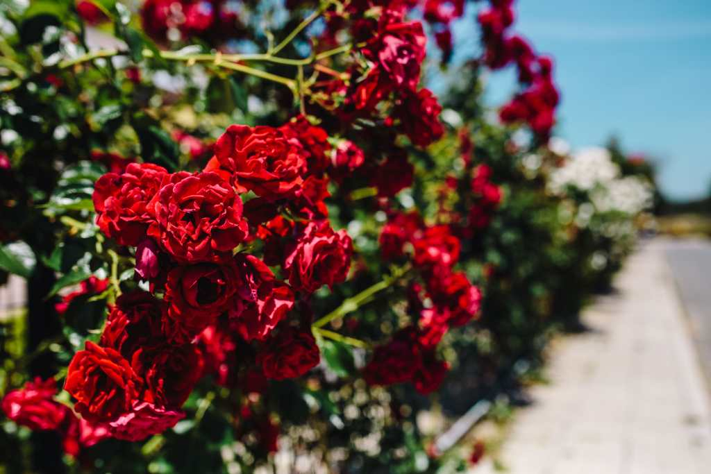 roses of bulgaria, Roses, Bulgaria, flowers, rose, flora, floral, red, nature, flower, plant, red rose