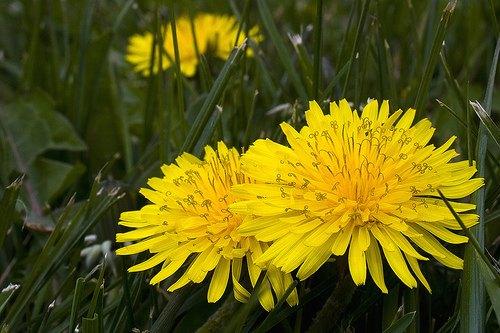 Flores  Diente de Len  DecoracionIN