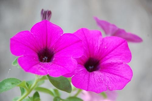 Flores  Petunia  DecoracionIN