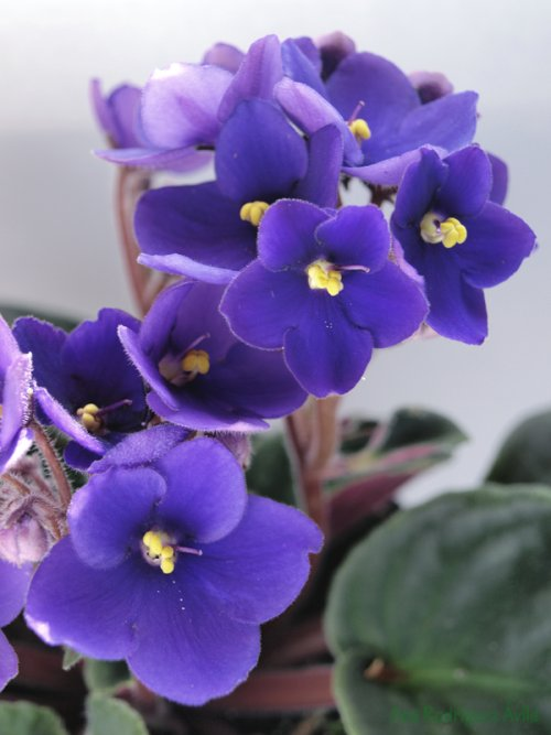 Flores  Violeta Africana  DecoracionIN