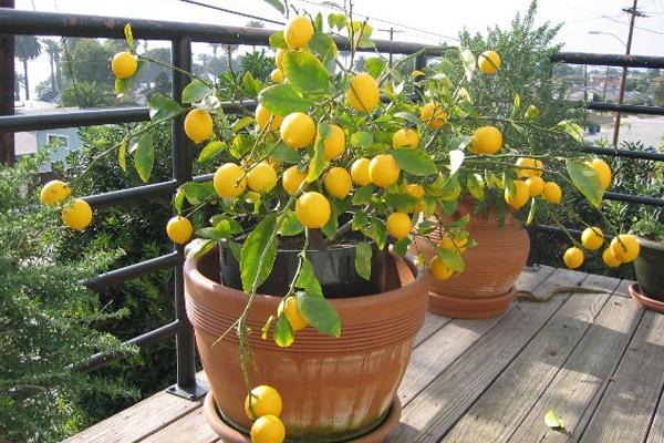 plantas para varanda de apartamento 12
