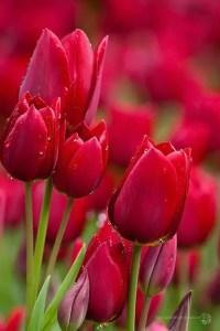 Tulips In Vase 26