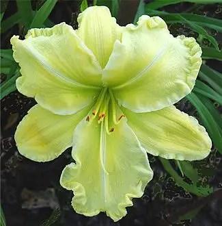 Daylily Garden 11