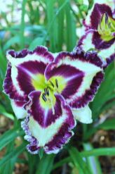 Daylily Garden 18