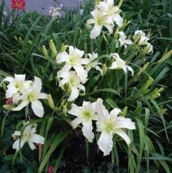 Daylily Garden 19