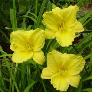 Daylily Garden 2