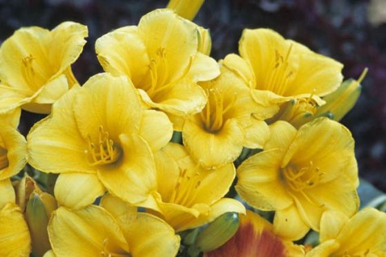 Daylily Garden 24