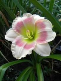 Daylily Garden 36