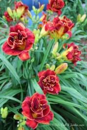 Daylily Garden 45