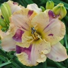Daylily Garden 5