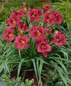 Daylily Garden 55